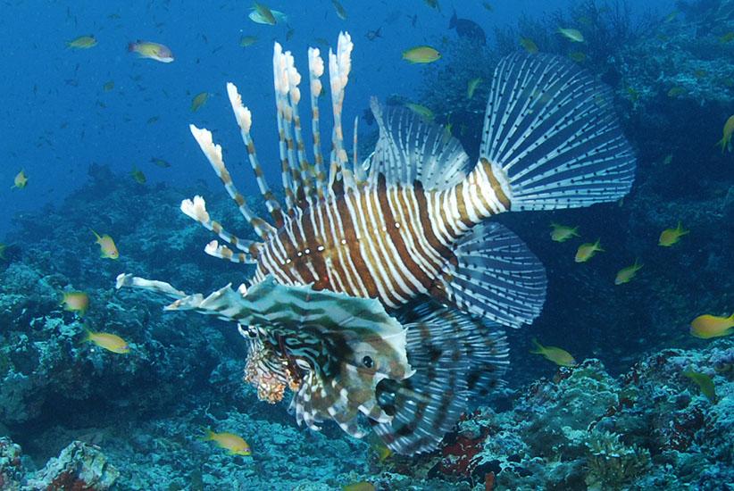 Common Lionfish  <i>Pterois volitans</i>