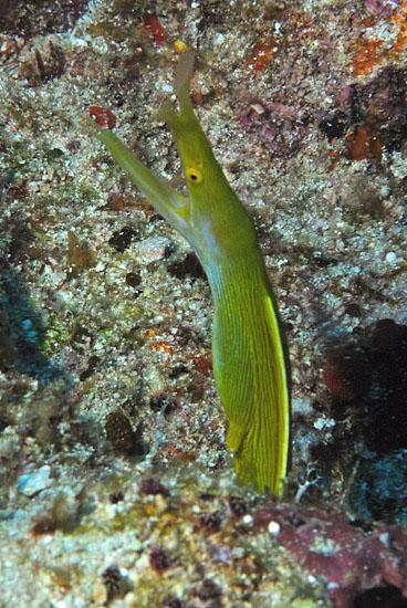 Ribbon Eel  <i>Rhinomuraena quaesita</i>