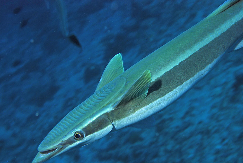 Slender Suckerfish  <i>Echeneis naucrates</i>