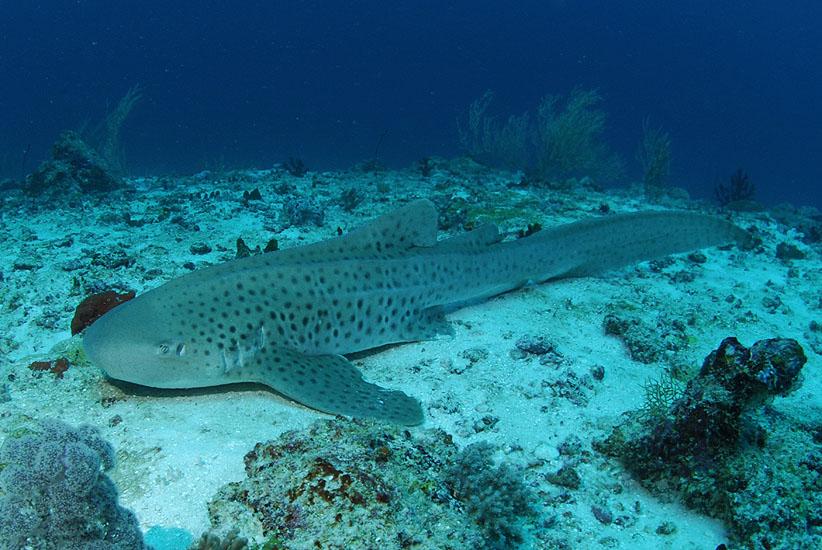 Leopard (Zebra) Shark  <i>Stegostoma fasciatum</i>