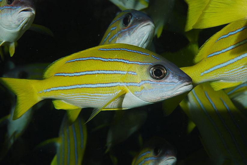 Blue-striped Snapper  <i>Lutjanus kasmira</i>