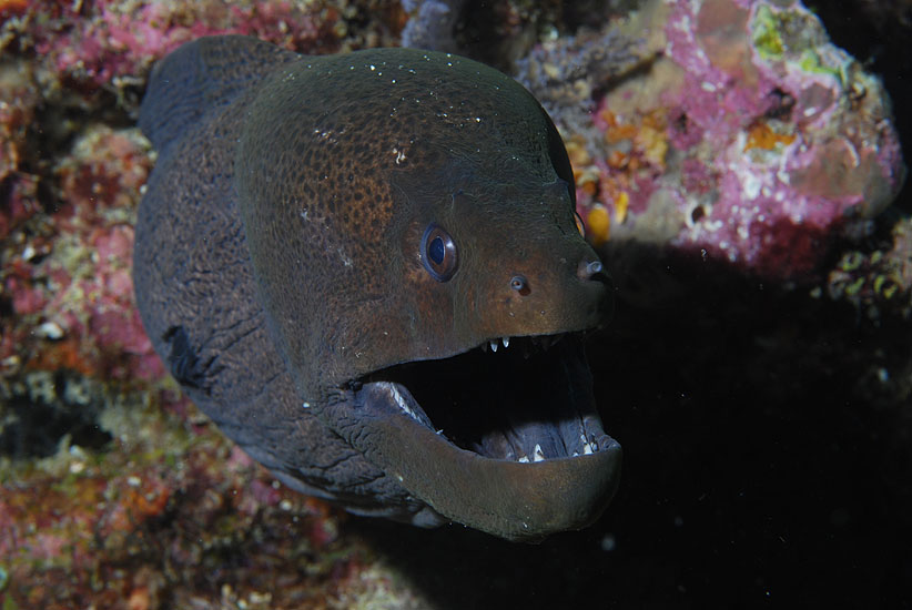 Giant Moray  <i>Gymnothorax javanicus</i>