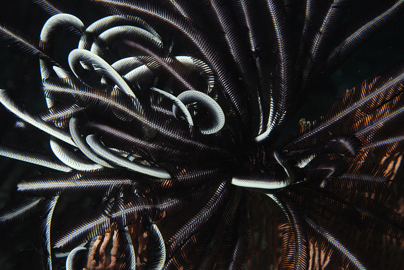Feather-star  <i>crinoid</i>