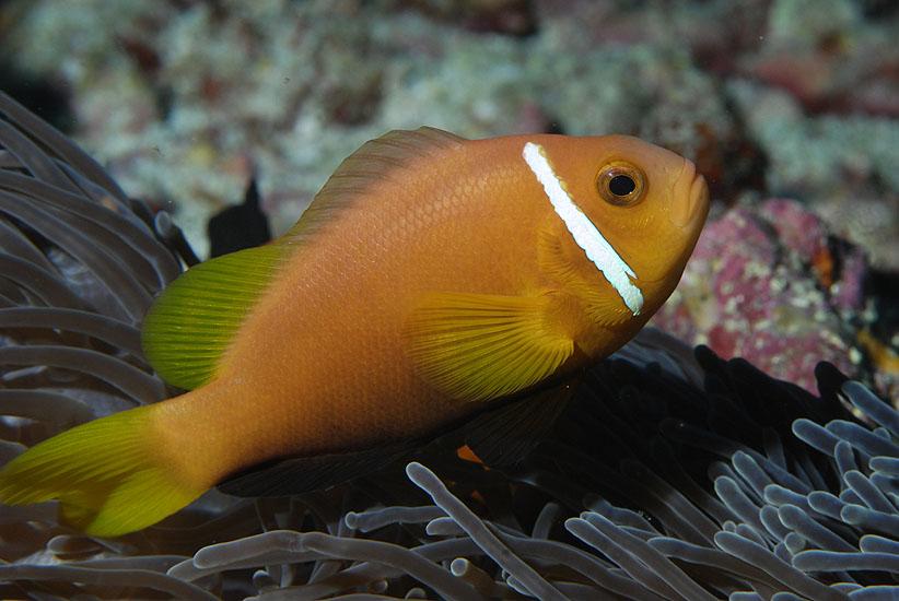 Blackfoot Anemonefish  <i> Amphiprion nigripes</i>