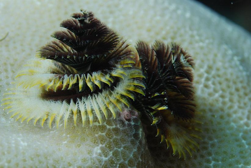 Christmas tree worm  <i>Spirobranchus giganteus</i>