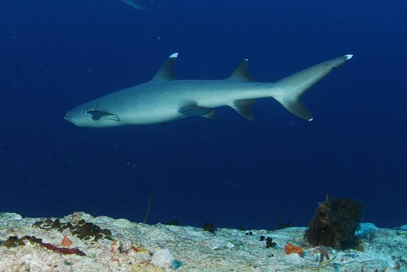 Whitetip Reef Shark  <i>Triaenodon obesus</i>