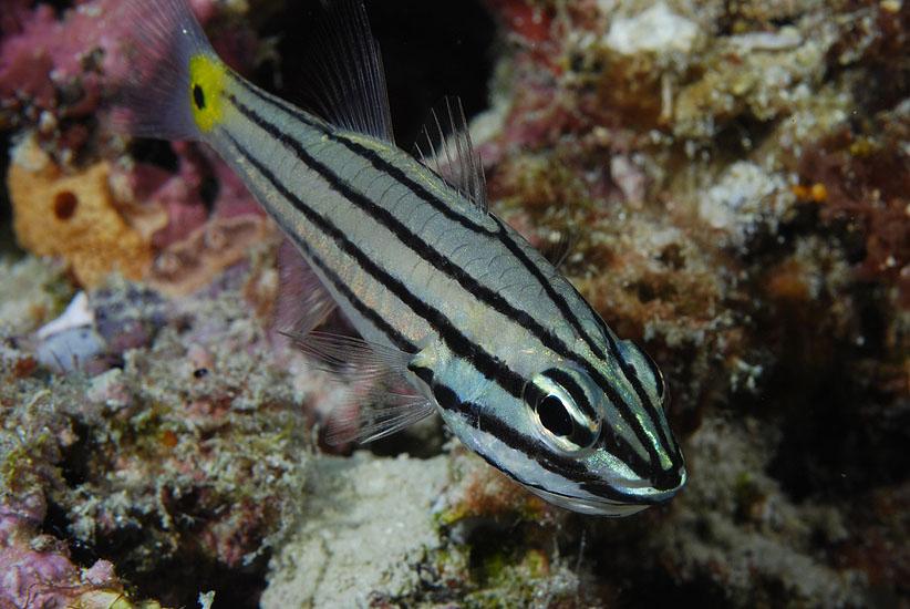 Five-line Cardinalfish  <i>Cheilodipterus quinquelineatus</i>