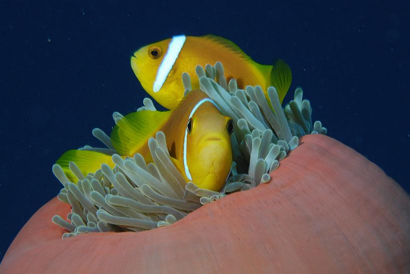 Blackfoot Anemonefish  <i>Amphiprion nigripes</i>