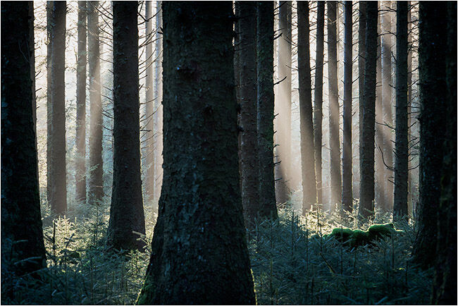 Early light through the pines (Bellever forest - Dartmoor)