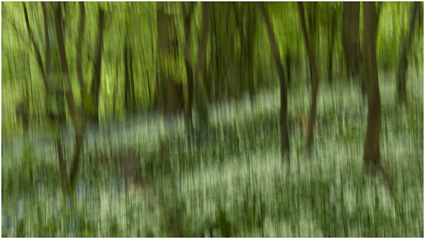 6 - Woodland with ramsons