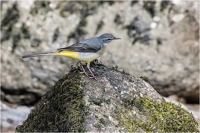 Grey wagtail on River Plym