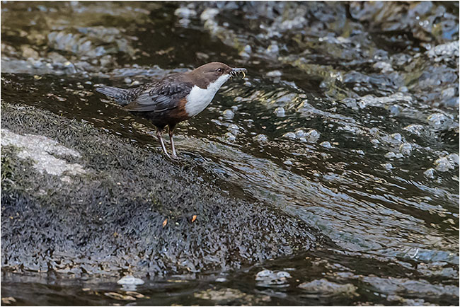 Dipper with food on River Plym