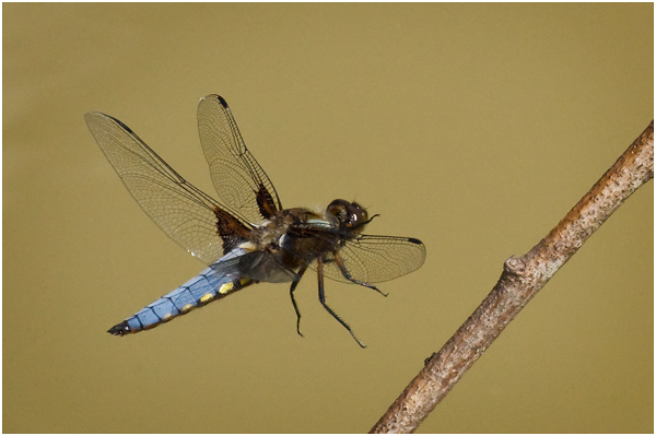 Broad bodied chaser in flight