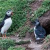 Adult puffin with puffling