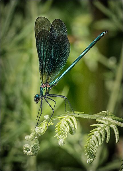 Beautiful Demoiselle (male)