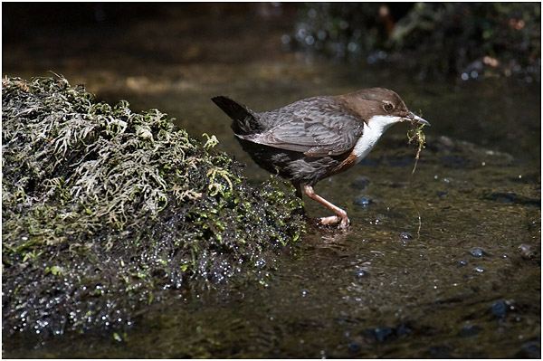 Dipper collecting nest material