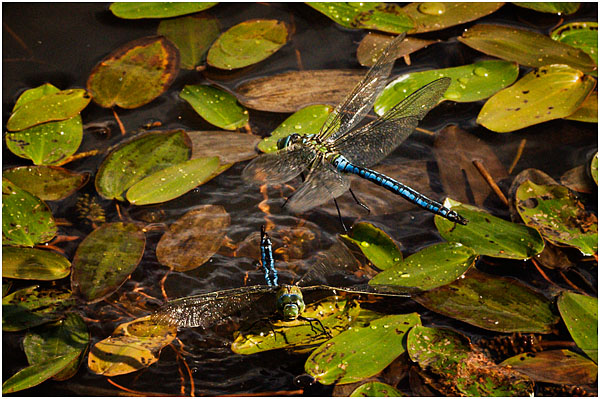 Emperor dragonfly attacking and immersing another male