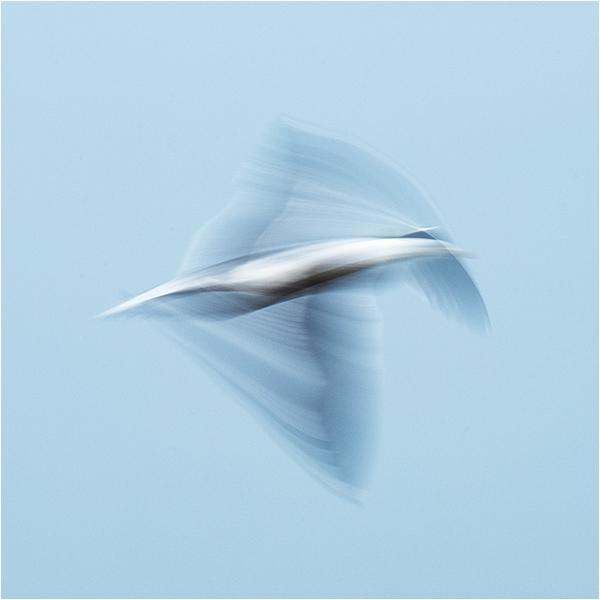 Gull impressions #3