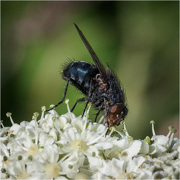 Fly feeding on Cow parsnip