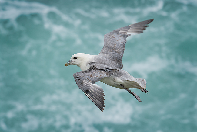 Fulmar hovering in strong winds