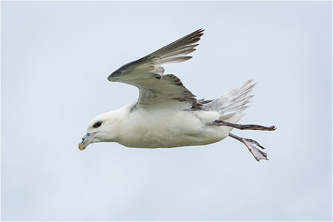 Fulmar in strong winds