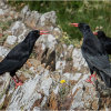 Pair of choughs