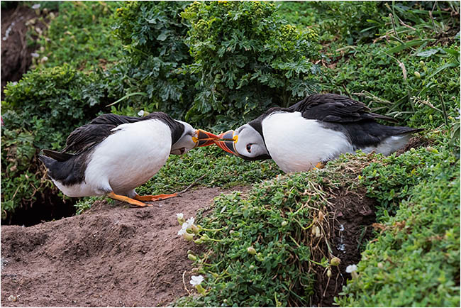 Puffins fighting as dusk