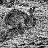 Rabbit in evening light