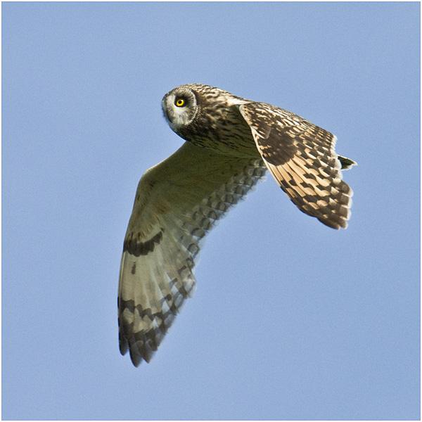 Short eared owl - Skomer