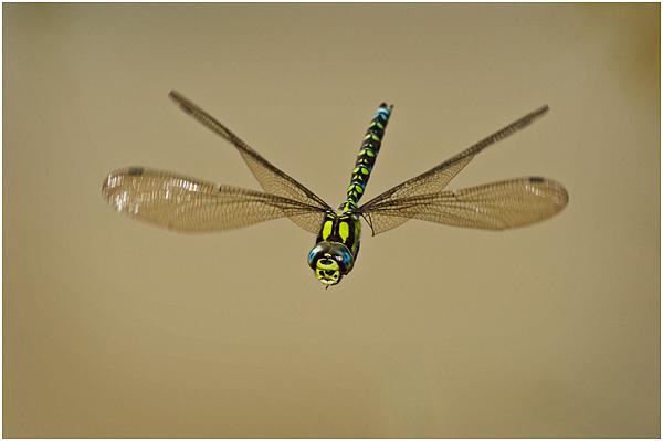 Southern hawker in flight #1