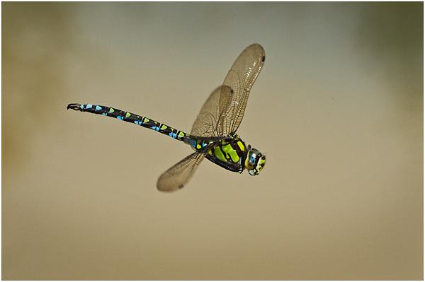 Southern hawker in flight #2