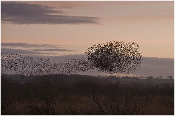 Starlings gathering at dusk