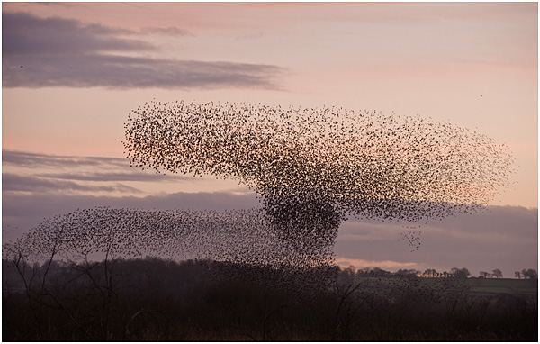 Starling flocks showing aerial displays above  roost site