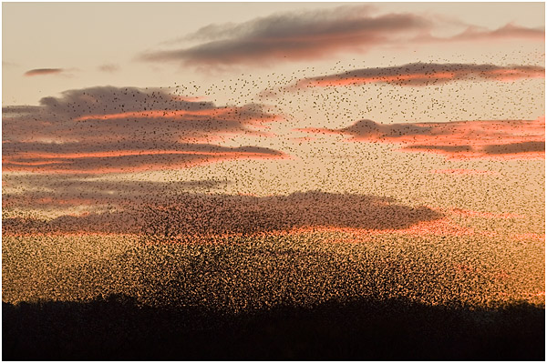 Starling flocks (murmurations) gathering to roost at sunset