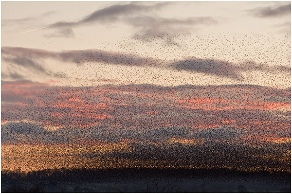 Starlings gathering to roost (estimated at 1.6 mill in Jan 2012)