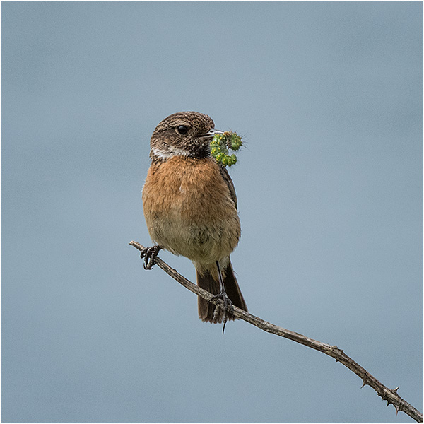 Stonechat (female) with caterpillar