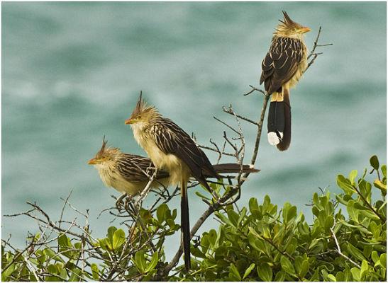 Guira cuckoos - Brazil