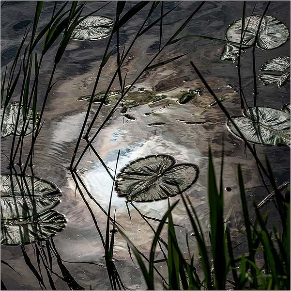 Early morning light on water lily leaves (Great Ouse river - Cambridgeshire)