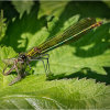 Female Banded Demoiselle with mayfly