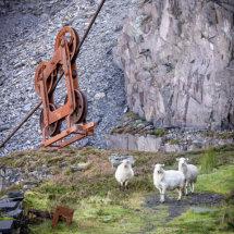 Sheep at Dinorwic