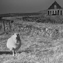 Sheep at Ty Mawr