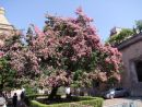 Flowering Tree, Palermo