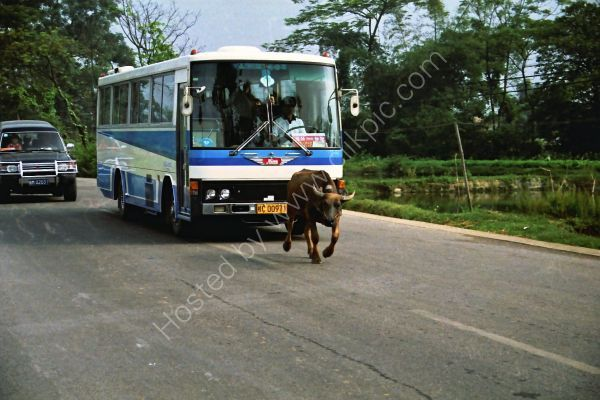 Buffalo chased by a bus, Countryside, Guilin