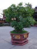 Bonsai Tree, Hoi An