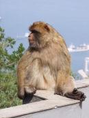 Gibraltar Ape