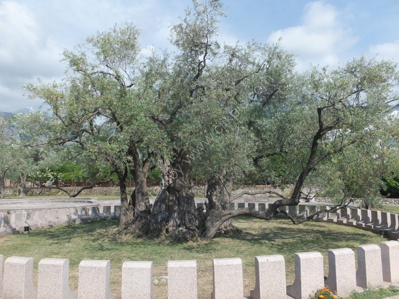 2000 Year Old Olive Tree, Old Bar