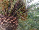 Bird eating dates on Date Palm