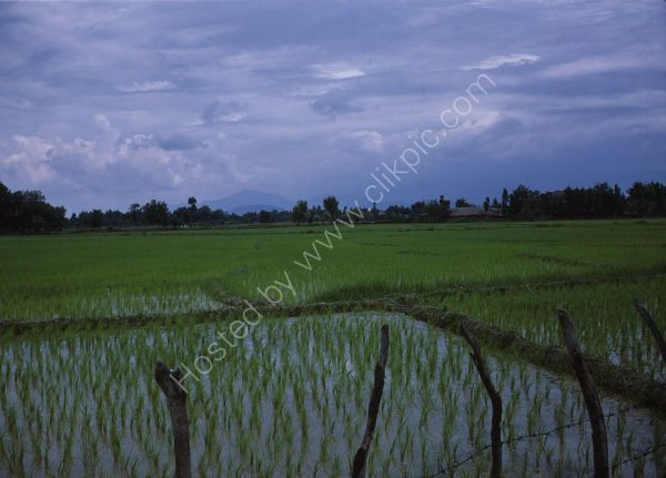 Rice Fields near Caspian Sea