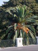 Date Palm, Syracusa