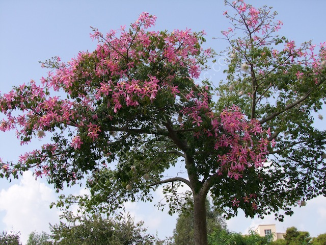Flowering Tree, Syracusa